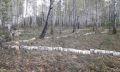 незаконная рубка деревьев чебаркуль